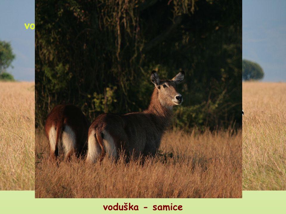 U KTERÝCH AFRICKÝCH PŘEŽVÝKAVCŮ MAJÍ ROHY JENOM SAMCI? voduška impala voduška - samci voduška - samice