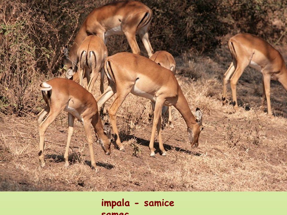 impala - samec impala - samice