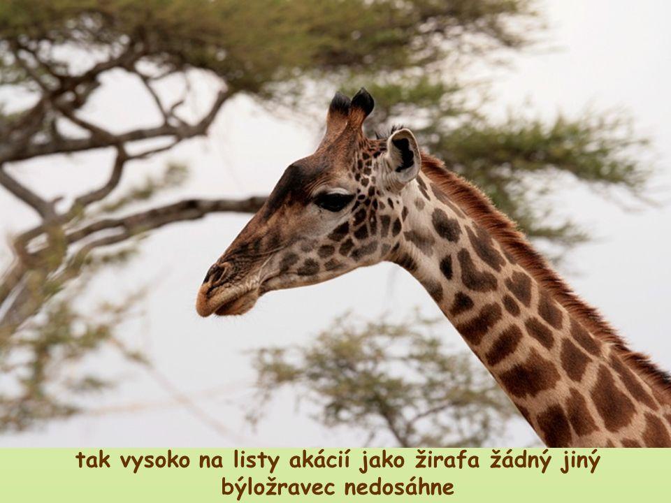 pakůň je schopen spásat pouze krátkou trávu, neumí spásat dlouhou trávu žirafa nemá žádného potravního konkurenta tak vysoko na listy akácií jako žira