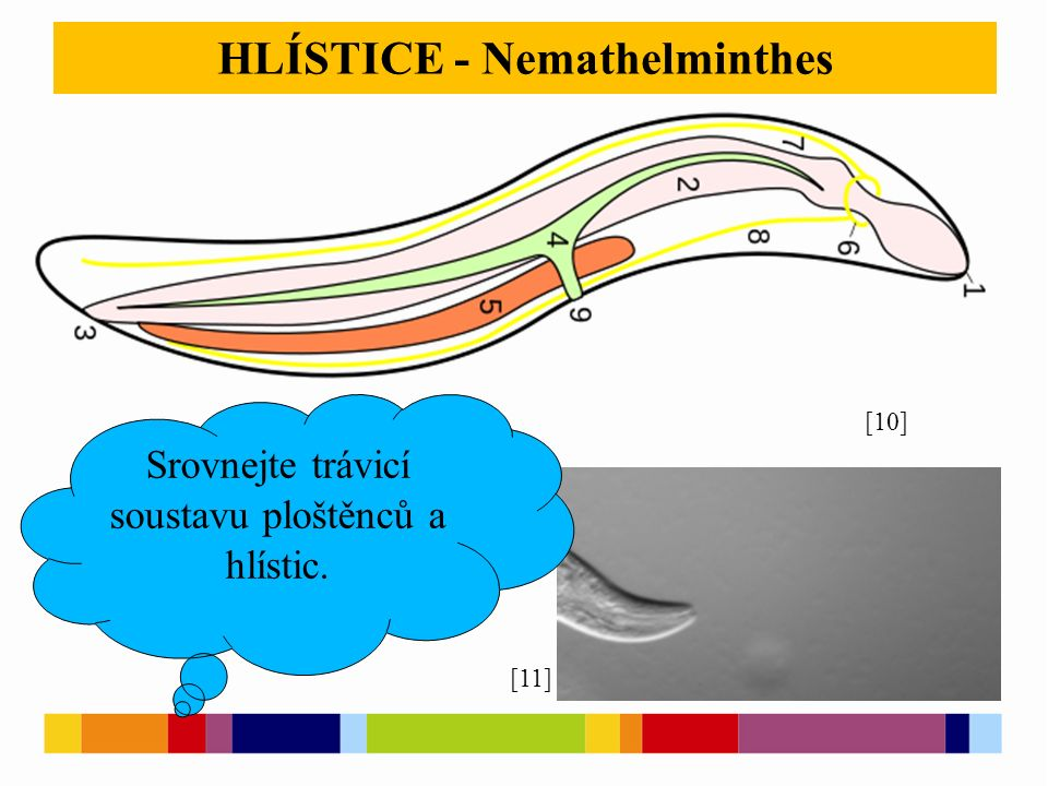 HLÍSTICE - Nemathelminthes Srovnejte trávicí soustavu ploštěnců a hlístic. [10] [11]
