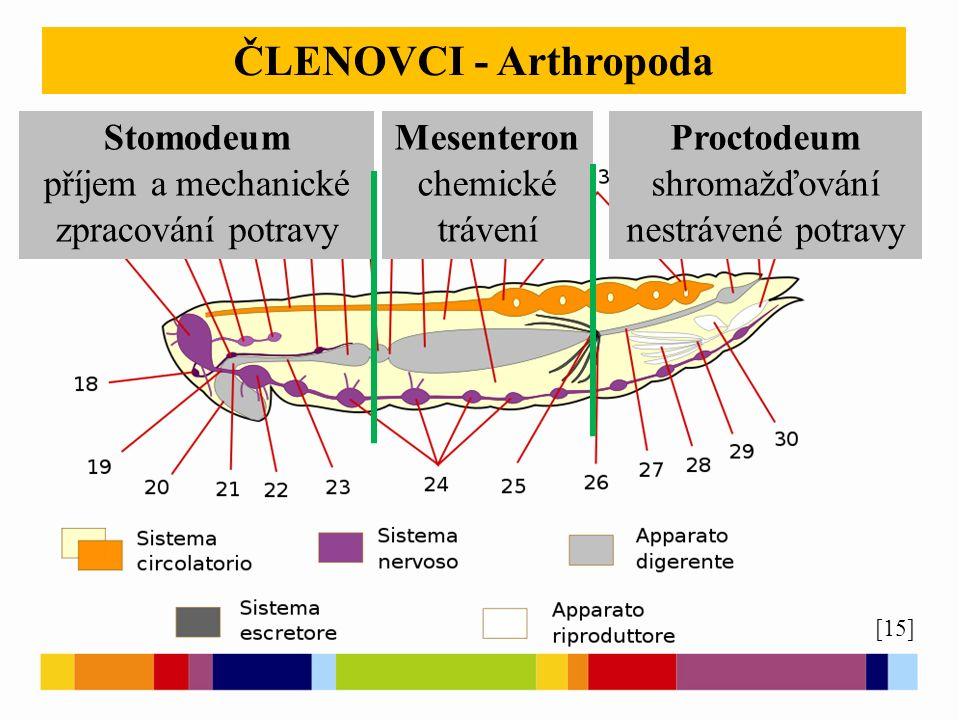[15] ČLENOVCI - Arthropoda Stomodeum příjem a mechanické zpracování potravy Mesenteron chemické trávení Proctodeum shromažďování nestrávené potravy
