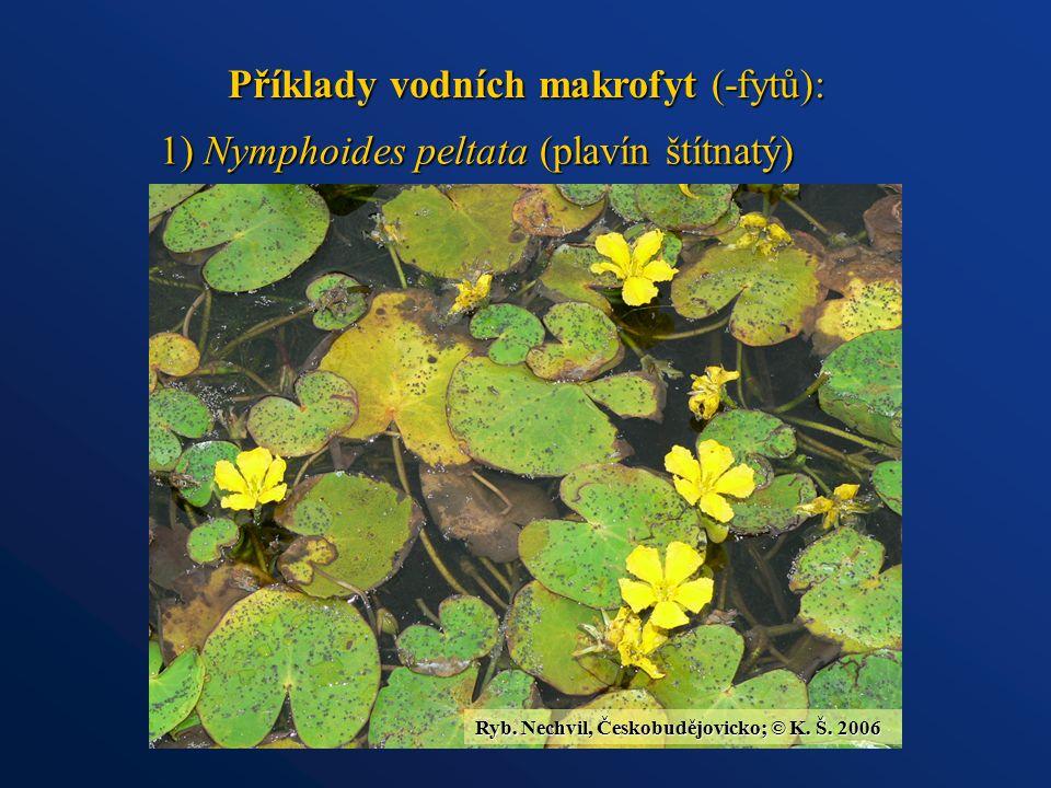 Příklady vodních makrofyt (-fytů): 1) Nymphoides peltata (plavín štítnatý) Ryb. Nechvil, Českobudějovicko; © K. Š. 2006