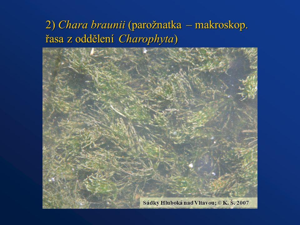 2) Chara braunii (parožnatka – makroskop.
