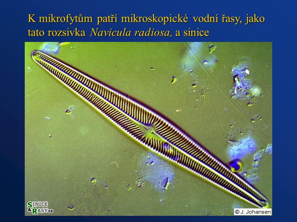 K mikrofytům patří mikroskopické vodní řasy, jako tato rozsivka Navicula radiosa, a sinice