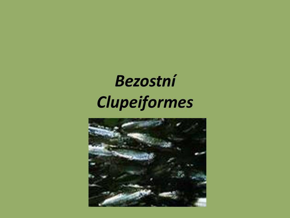 Bezostní Obecně jsou primitivní kostnaté ryby, mezi které patří některé hospodářsky velmi významné druhy ryb, jako jsou sledi, sardinky a sardele.