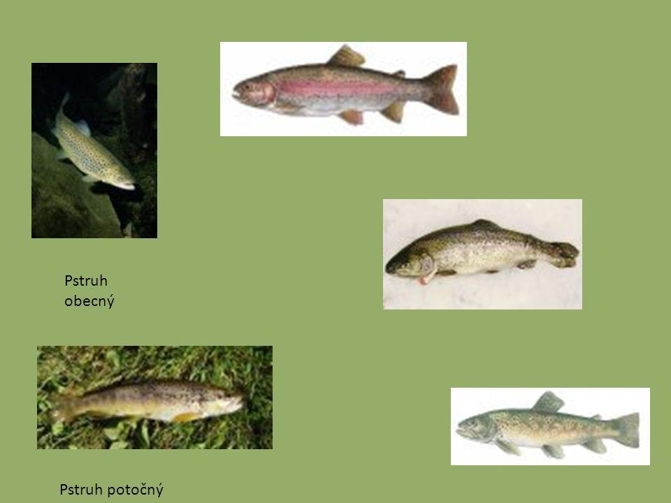 Bezostní-štikovití Ryby tohoto rodu se vyznačují protáhlým torpédovitým tvarem těla a hřbetní ploutví posunutou téměř až k ocasní ploutvi.