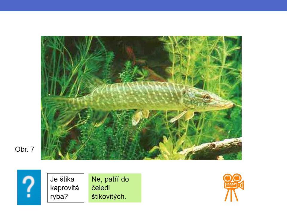 Obr. 7 Je štika kaprovitá ryba Ne, patří do čeledi štikovitých.