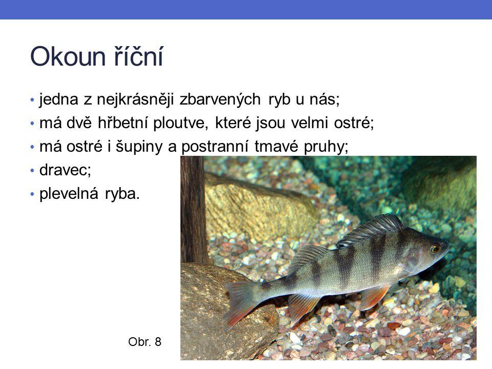 Okoun říční jedna z nejkrásněji zbarvených ryb u nás; má dvě hřbetní ploutve, které jsou velmi ostré; má ostré i šupiny a postranní tmavé pruhy; dravec; plevelná ryba.