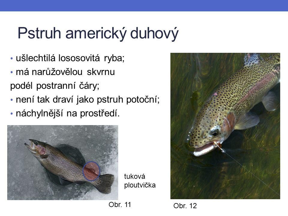 Pstruh americký duhový ušlechtilá lososovitá ryba; má narůžovělou skvrnu podél postranní čáry; není tak draví jako pstruh potoční; náchylnější na prostředí.