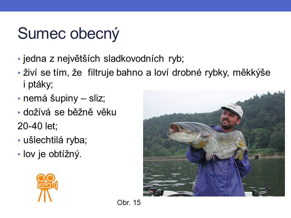 Sumec obecný jedna z největších sladkovodních ryb; živí se tím, že filtruje bahno a loví drobné rybky, měkkýše i ptáky; nemá šupiny – sliz; dožívá se běžně věku 20-40 let; ušlechtilá ryba; lov je obtížný.