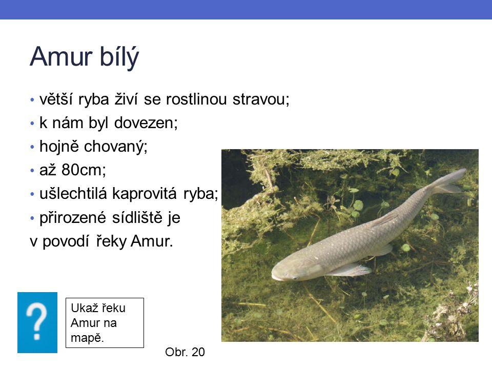 Amur bílý větší ryba živí se rostlinou stravou; k nám byl dovezen; hojně chovaný; až 80cm; ušlechtilá kaprovitá ryba; přirozené sídliště je v povodí řeky Amur.