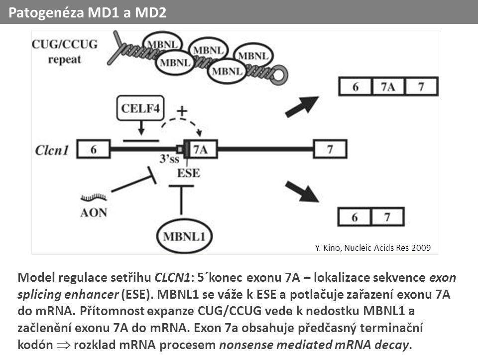 Model regulace setřihu CLCN1: 5´konec exonu 7A – lokalizace sekvence exon splicing enhancer (ESE).