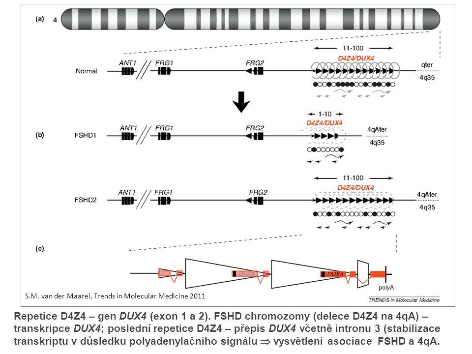 Repetice D4Z4 – gen DUX4 (exon 1 a 2).