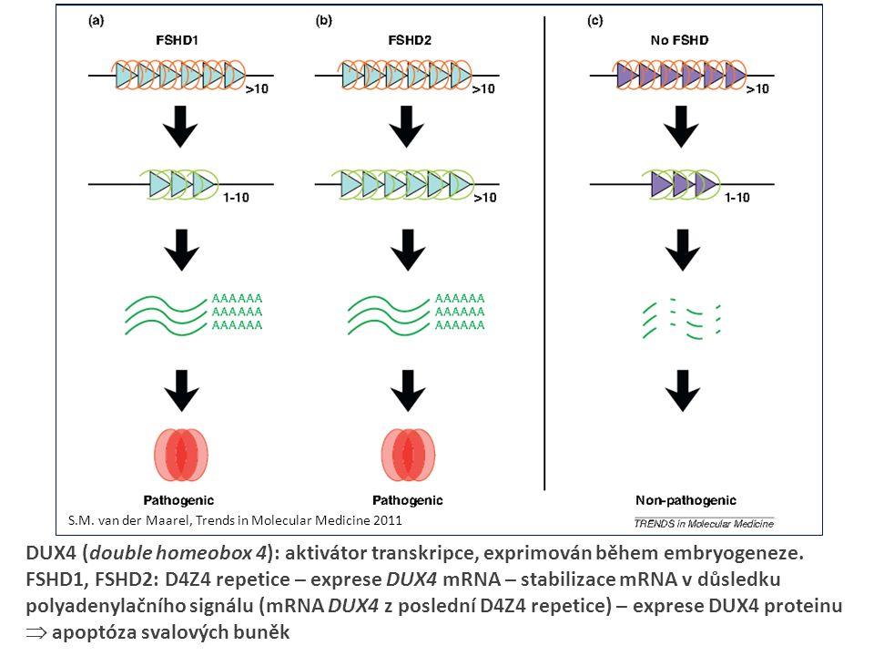 DUX4 (double homeobox 4): aktivátor transkripce, exprimován během embryogeneze.