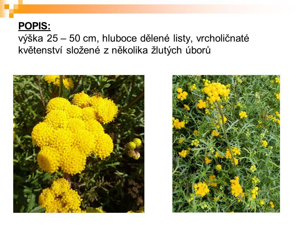 POPIS: výška 25 – 50 cm, hluboce dělené listy, vrcholičnaté květenství složené z několika žlutých úborů