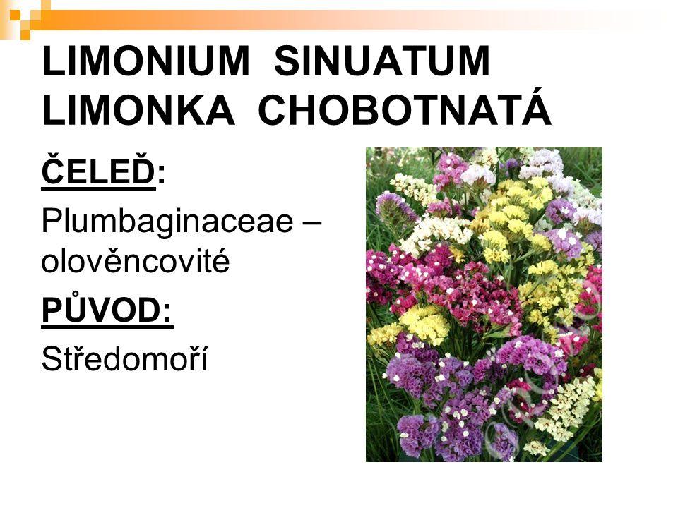 LIMONIUM SINUATUM LIMONKA CHOBOTNATÁ ČELEĎ: Plumbaginaceae – olověncovité PŮVOD: Středomoří