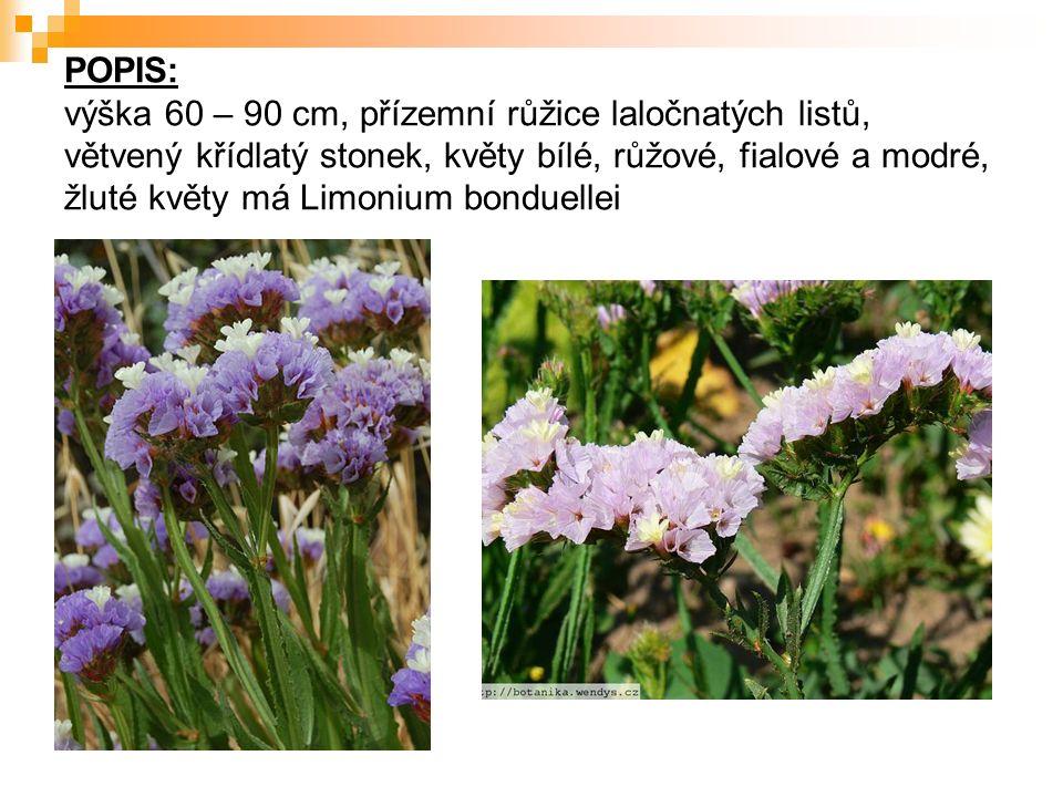 POPIS: výška 60 – 90 cm, přízemní růžice laločnatých listů, větvený křídlatý stonek, květy bílé, růžové, fialové a modré, žluté květy má Limonium bonduellei