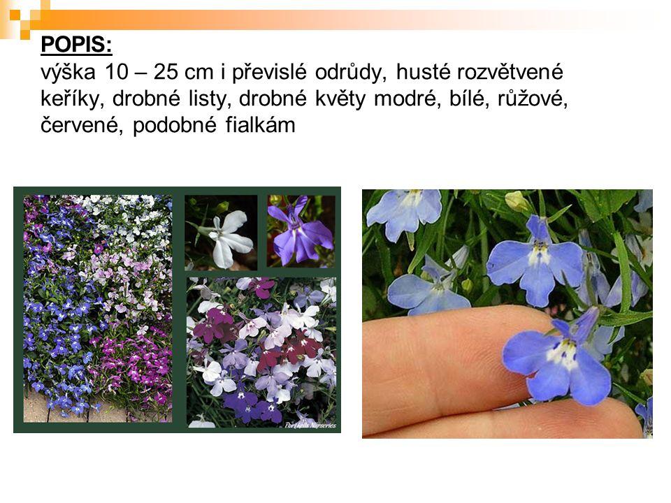 POPIS: výška 10 – 25 cm i převislé odrůdy, husté rozvětvené keříky, drobné listy, drobné květy modré, bílé, růžové, červené, podobné fialkám