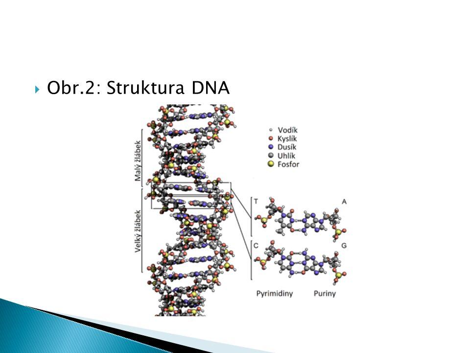  Obr.2: Struktura DNA