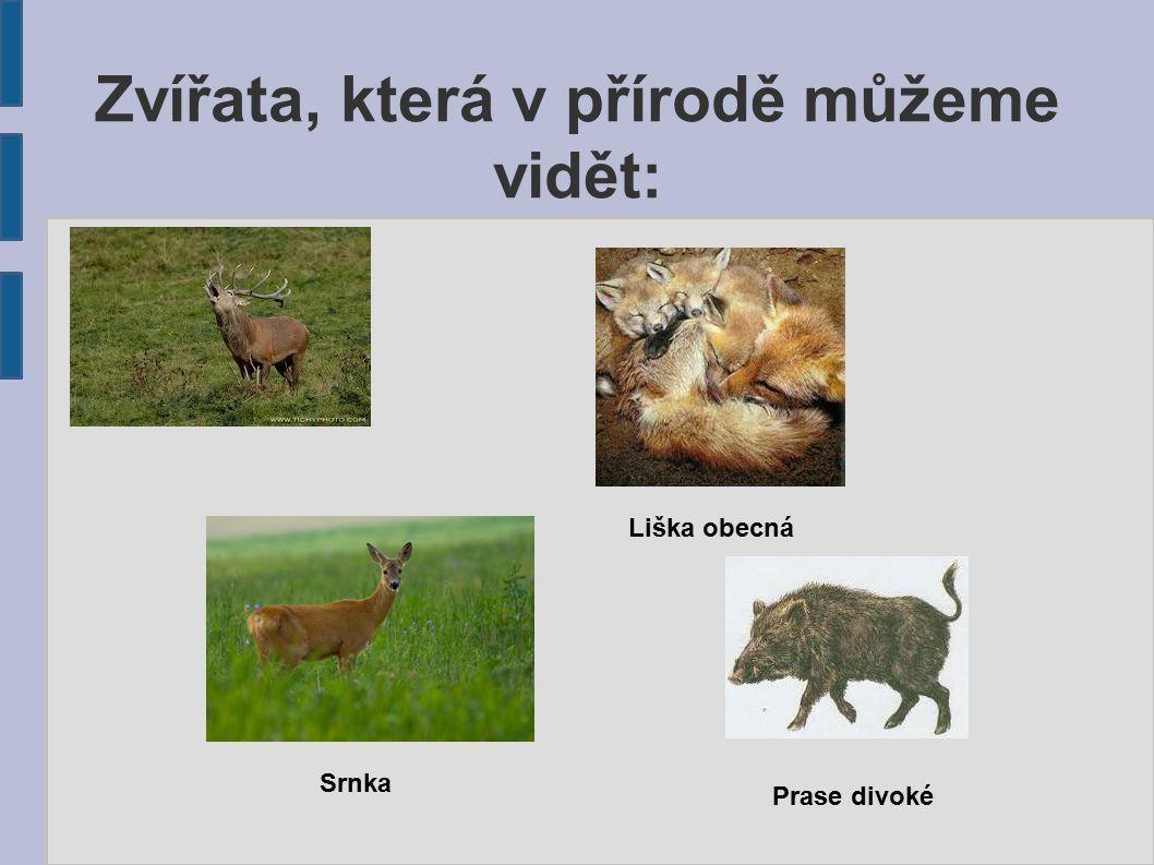 Zvířata, která v přírodě můžeme vidět: Liška obecná Srnka Prase divoké