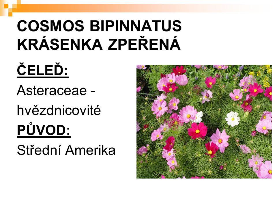 COSMOS BIPINNATUS KRÁSENKA ZPEŘENÁ ČELEĎ: Asteraceae - hvězdnicovité PŮVOD: Střední Amerika