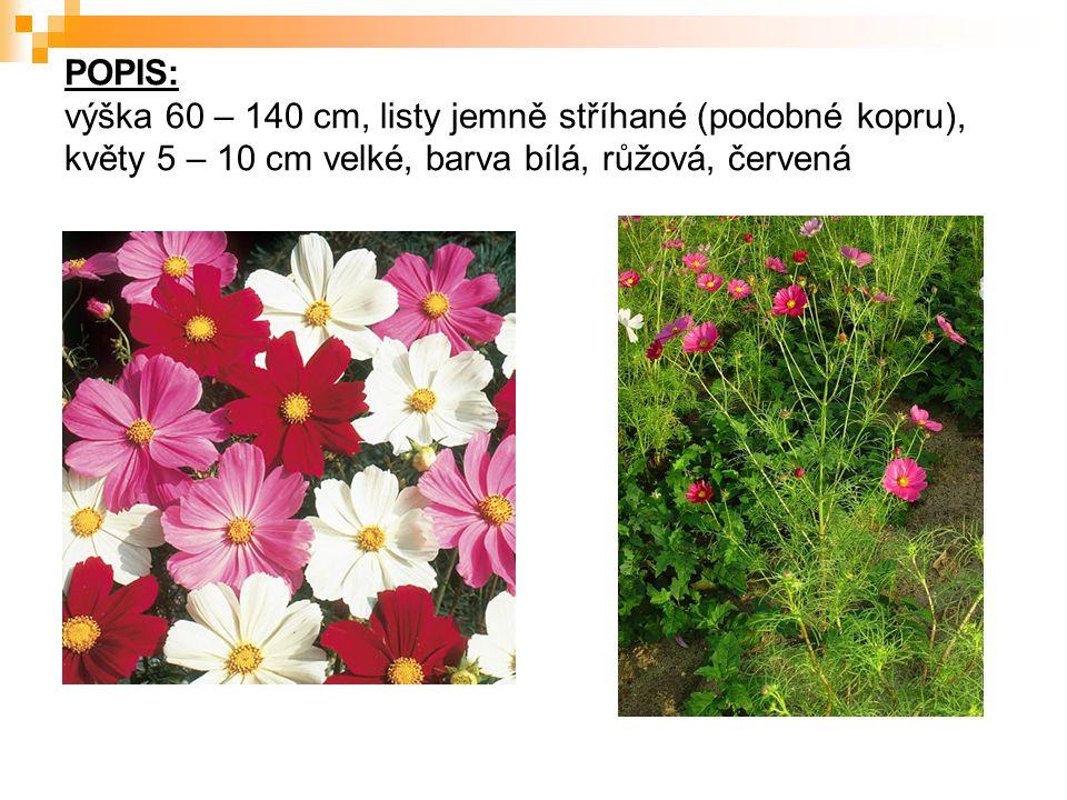 POPIS: výška 60 – 140 cm, listy jemně stříhané (podobné kopru), květy 5 – 10 cm velké, barva bílá, růžová, červená