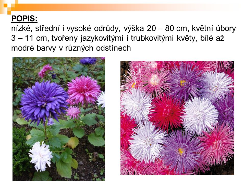 POPIS: nízké, střední i vysoké odrůdy, výška 20 – 80 cm, květní úbory 3 – 11 cm, tvořeny jazykovitými i trubkovitými květy, bílé až modré barvy v různ