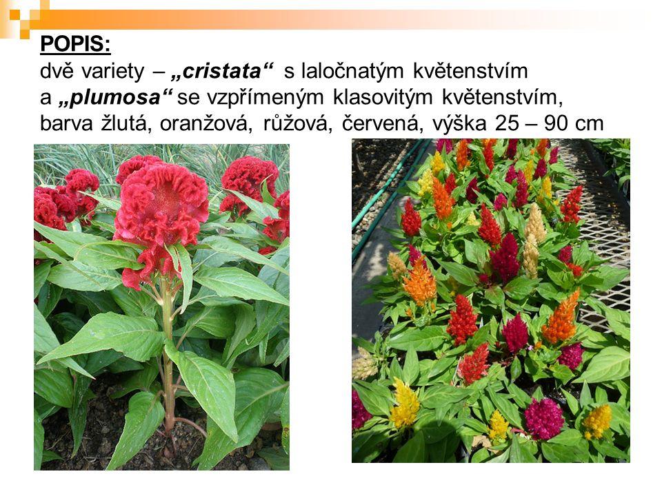 """POPIS: dvě variety – """"cristata s laločnatým květenstvím a """"plumosa se vzpřímeným klasovitým květenstvím, barva žlutá, oranžová, růžová, červená, výška 25 – 90 cm"""