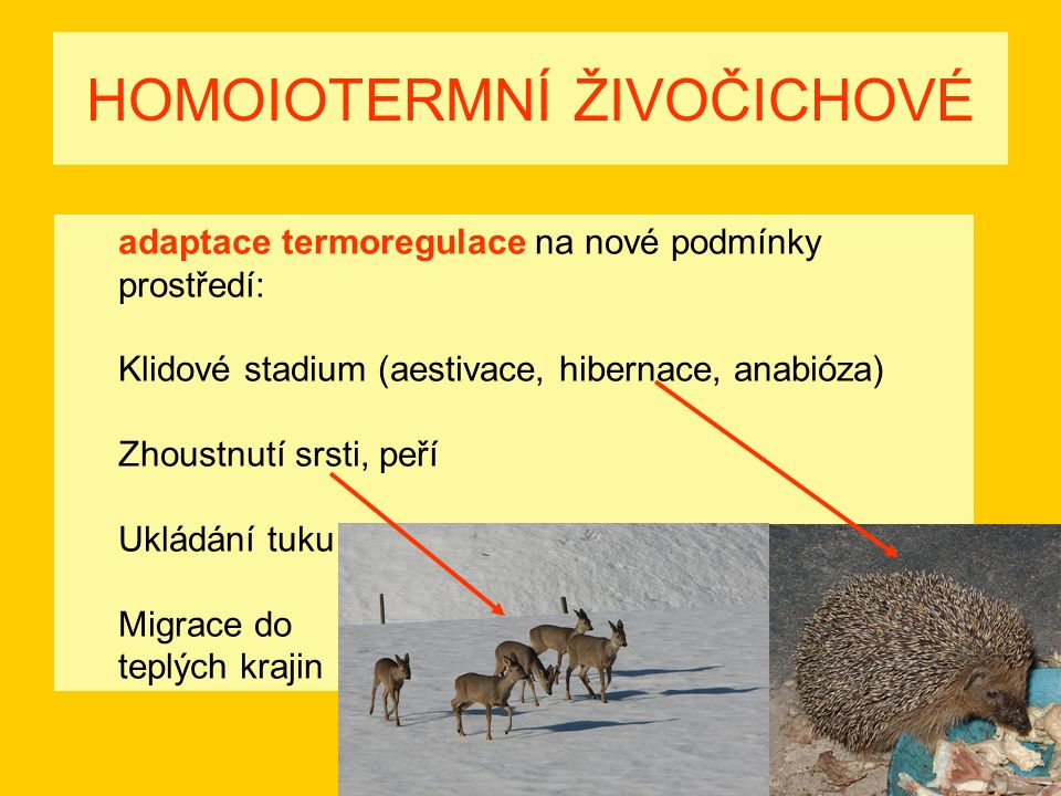 HOMOIOTERMNÍ ŽIVOČICHOVÉ adaptace termoregulace na nové podmínky prostředí: Klidové stadium (aestivace, hibernace, anabióza) Zhoustnutí srsti, peří Ukládání tuku Migrace do teplých krajin