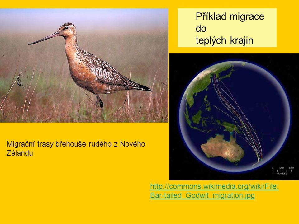 http://commons.wikimedia.org/wiki/File: Bar-tailed_Godwit_migration.jpg Migrační trasy břehouše rudého z Nového Zélandu Příklad migrace do teplých krajin