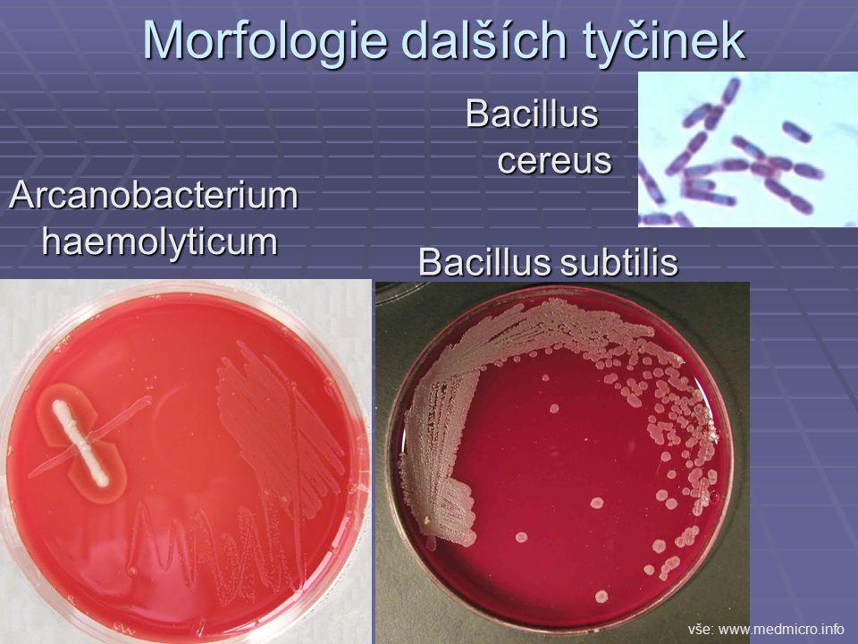 Morfologie dalších tyčinek Bacillus subtilis Arcanobacterium haemolyticum Bacillus cereus vše: www.medmicro.info