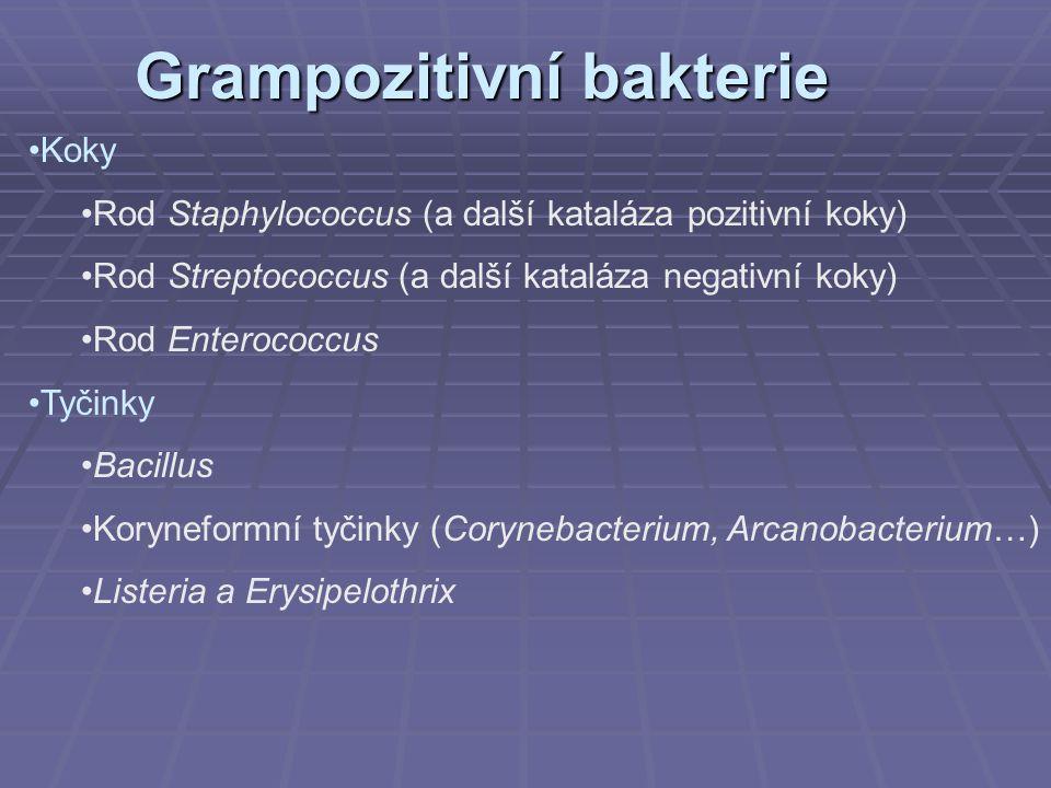 Grampozitivní bakterie Koky Rod Staphylococcus (a další kataláza pozitivní koky) Rod Streptococcus (a další kataláza negativní koky) Rod Enterococcus Tyčinky Bacillus Koryneformní tyčinky (Corynebacterium, Arcanobacterium…) Listeria a Erysipelothrix