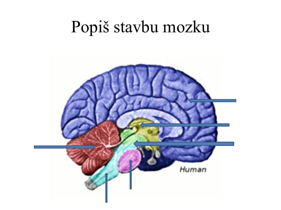 Popiš stavbu mozku