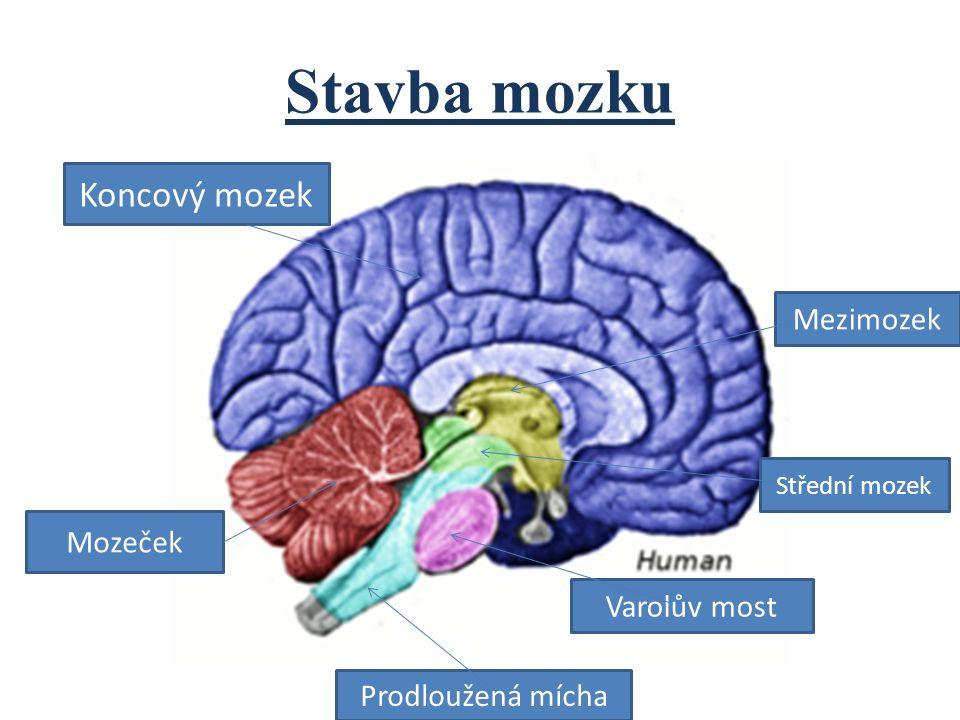 Stavba mozku Koncový mozek Mozeček Prodloužená mícha Varolův most Střední mozek Mezimozek
