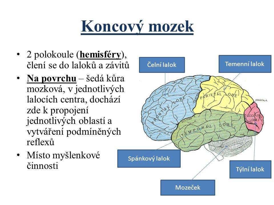2 polokoule (hemisféry), člení se do laloků a závitů Na povrchu – šedá kůra mozková, v jednotlivých lalocích centra, dochází zde k propojení jednotliv