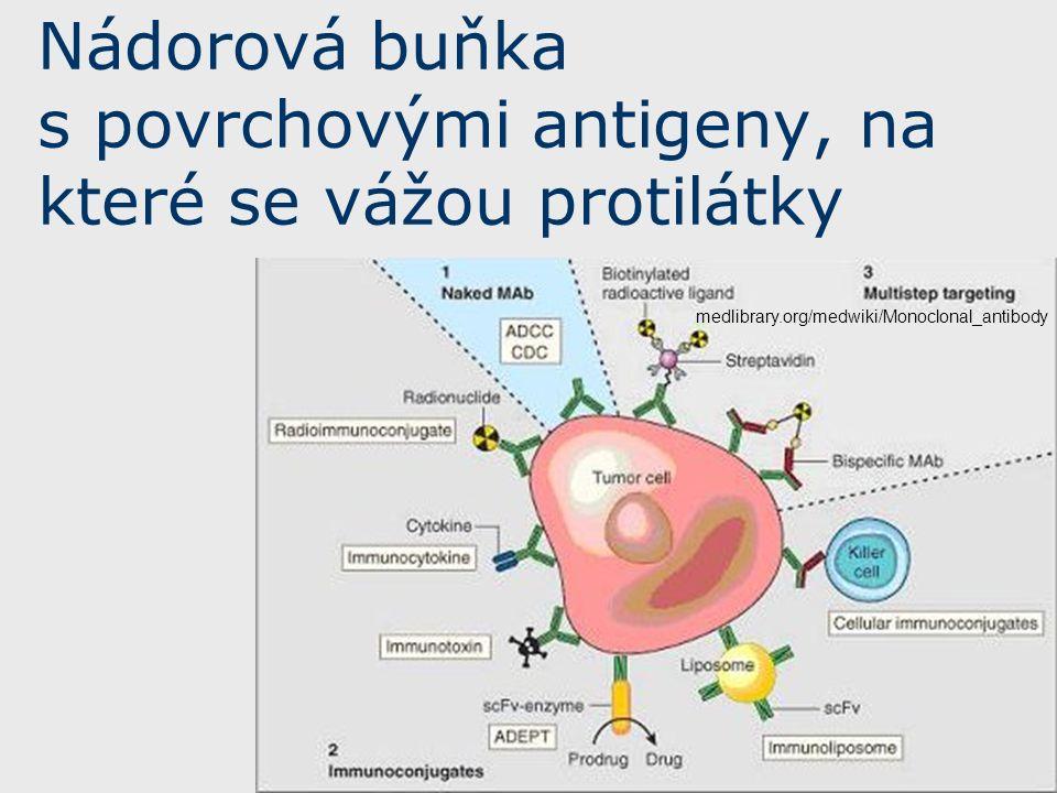 medlibrary.org/medwiki/Monoclonal_antibody Nádorová buňka s povrchovými antigeny, na které se vážou protilátky