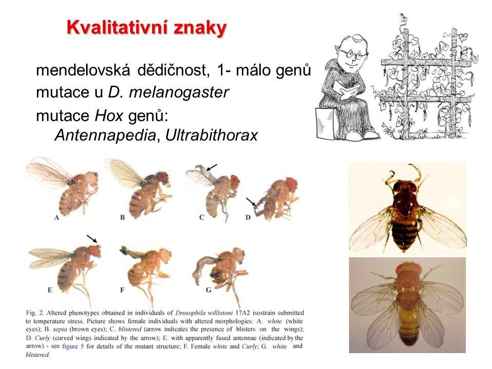 mendelovská dědičnost, 1- málo genů mutace u D. melanogaster mutace Hox genů: Antennapedia, Ultrabithorax Kvalitativní znaky