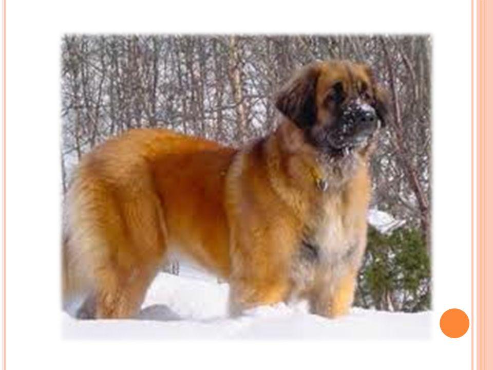 H USKY Postava je soum ě rná, pes má vodorovná záda, spáditá linie je nežádoucí.