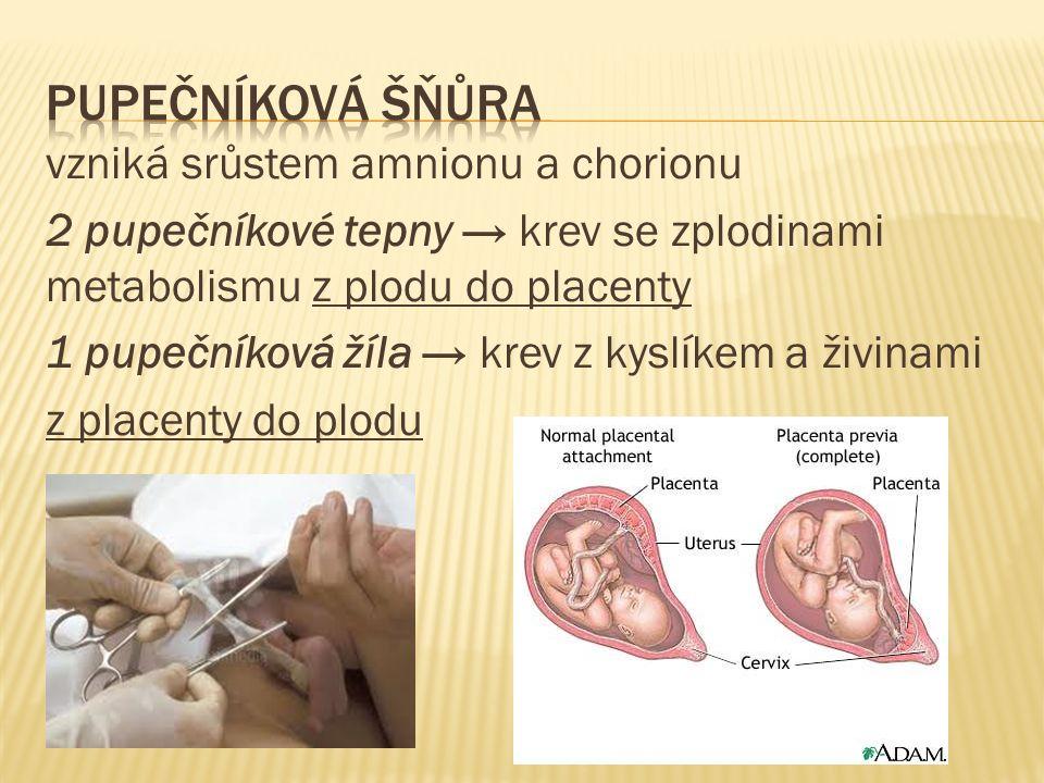 vzniká srůstem amnionu a chorionu 2 pupečníkové tepny → krev se zplodinami metabolismu z plodu do placenty 1 pupečníková žíla → krev z kyslíkem a živi