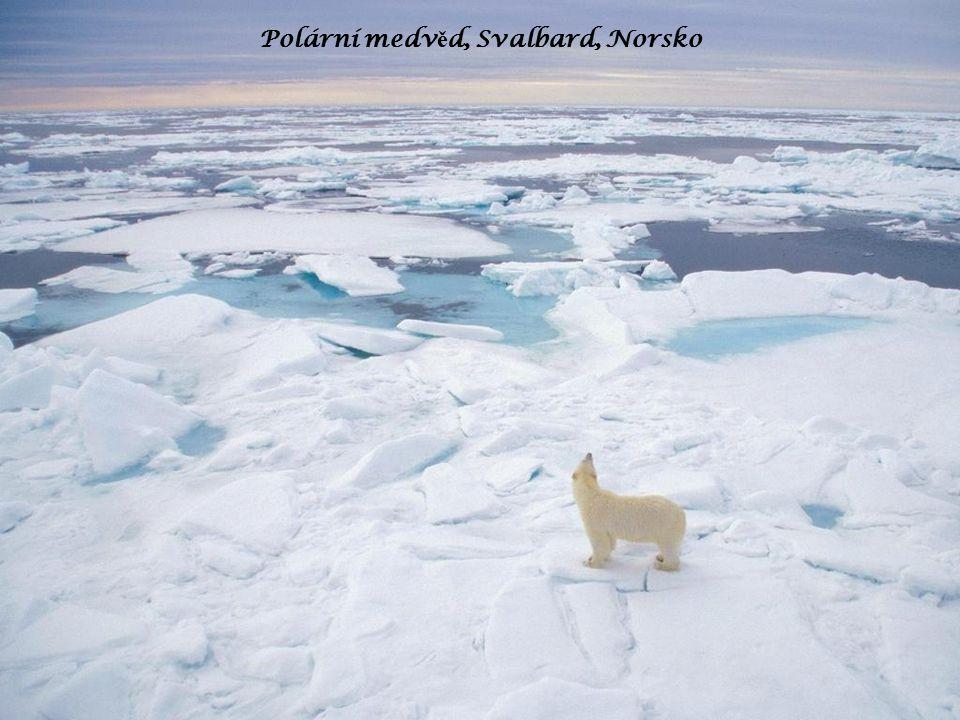 Polární medv ě d, Svalbard, Norsko