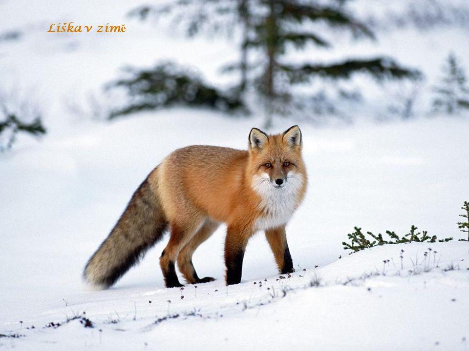 Liška v zim ě