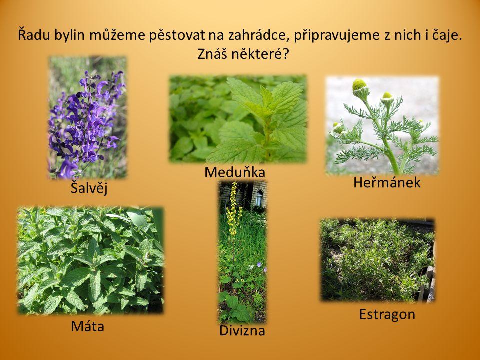 Řadu bylin můžeme pěstovat na zahrádce, připravujeme z nich i čaje.
