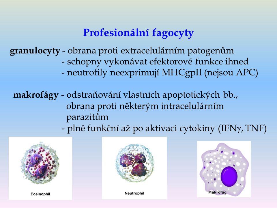 Profesionální fagocyty granulocyty - obrana proti extracelulárním patogenům - schopny vykonávat efektorové funkce ihned - neutrofily neexprimují MHCgpII (nejsou APC) makrofágy - odstraňování vlastních apoptotických bb., obrana proti některým intracelulárním parazitům - plně funkční až po aktivaci cytokiny (IFN , TNF) Makrofág