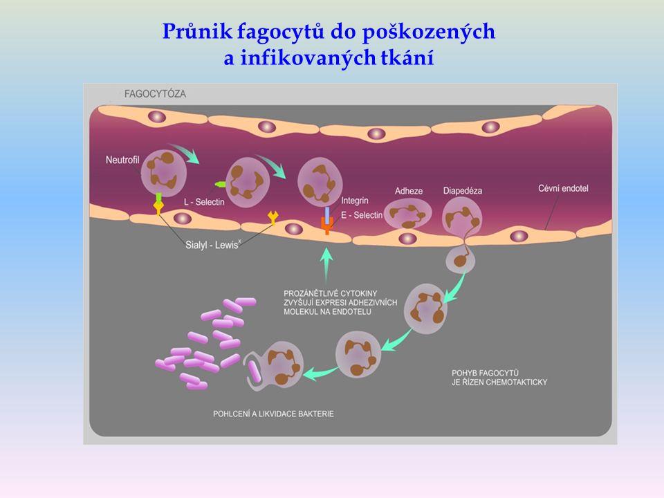 Průnik fagocytů do poškozených a infikovaných tkání