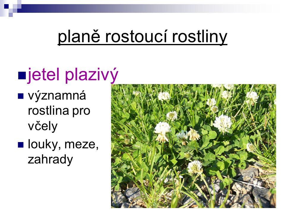 planě rostoucí rostliny jetel plazivý významná rostlina pro včely louky, meze, zahrady
