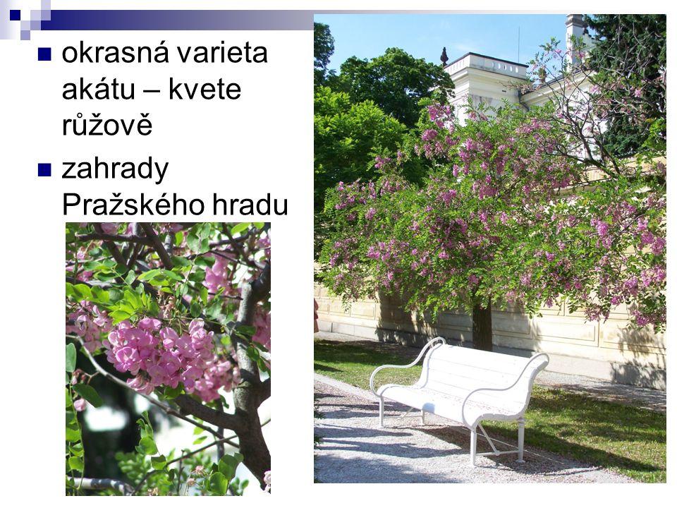 okrasná varieta akátu – kvete růžově zahrady Pražského hradu