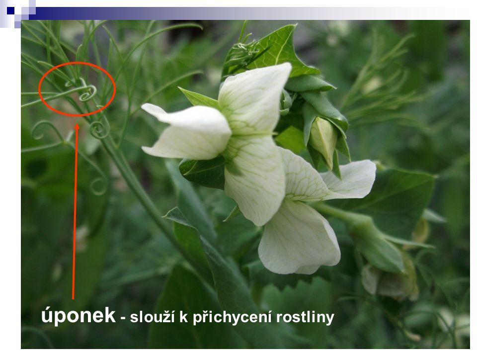 úponek - slouží k přichycení rostliny