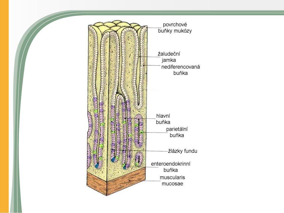 Akutní peptický vřed Zasahuje jen do sliznice a podslizniční oblasti Typicky malý (<1cm) Jeden nebo více Různá lokalizace Obvykle kompletní zhojení Fatální v případě eroze velké cévy (krvácení)
