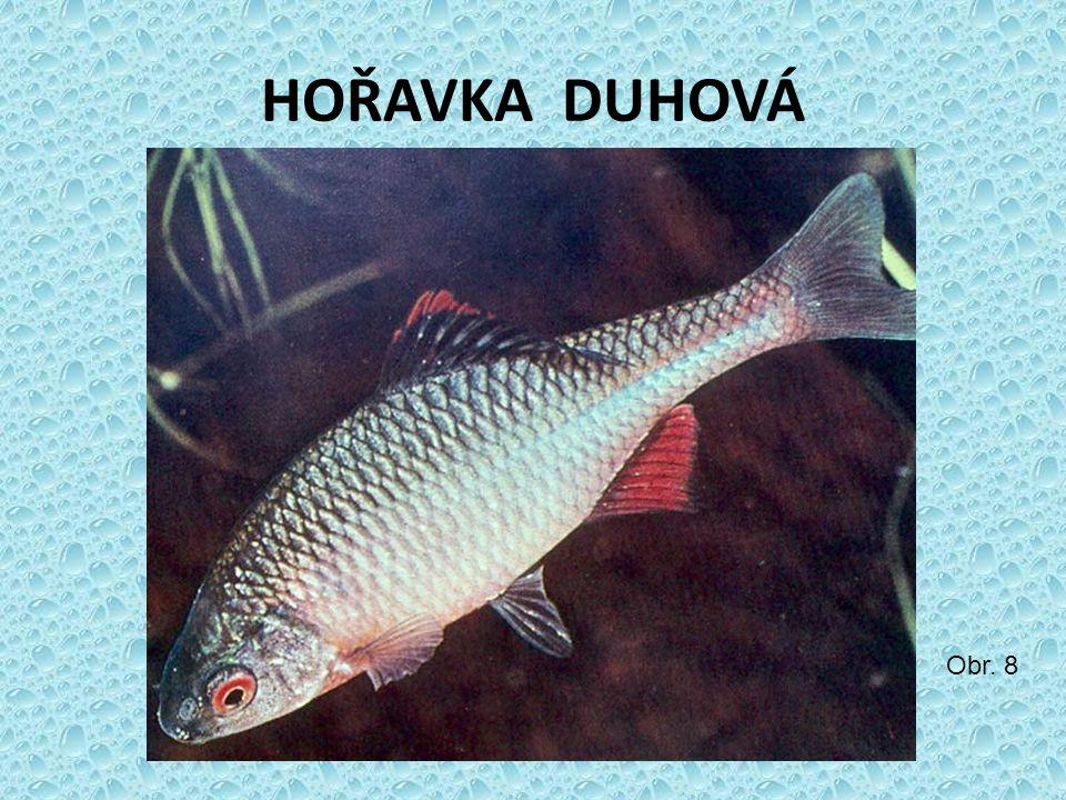 HOŘAVKA DUHOVÁ Obr. 8