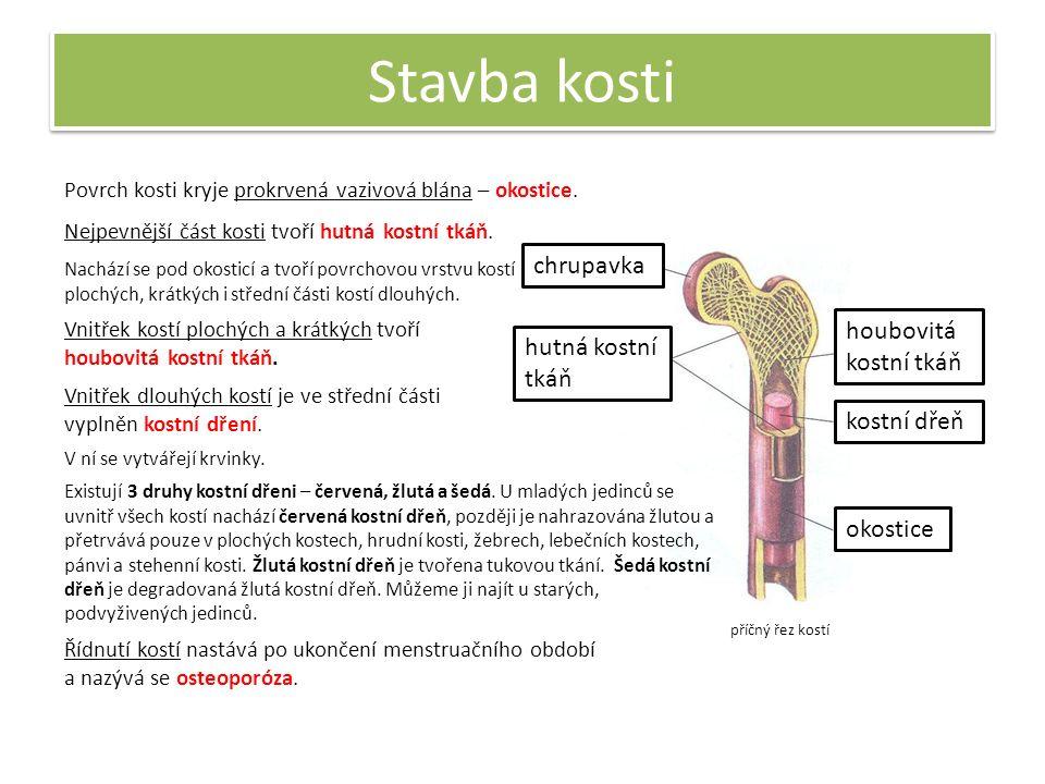 Růst kostí Kosti se vytvářejí již během vývinu před narozením.